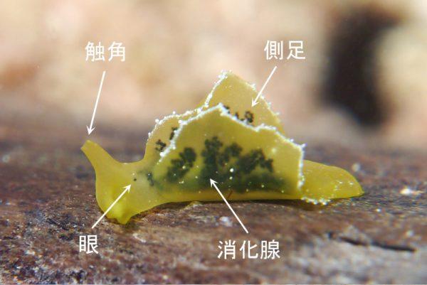 嚢舌目チゴリミドリガイ科