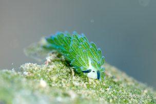 ホホベニモウミウシ