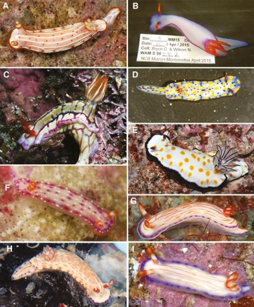 Epstein, H. E.; Hallas, J. M.; Johnson, R. F.; Lopez, A.; Gosliner, T. M. (2018). Reading between the lines: revealing cryptic species diversity and colour patterns in Hypselodoris nudibranchs (Mollusca: Heterobranchia: Chromodorididae). Zoological Journal of the Linnean Society. 2018, XX, 1–74. With 40 figures., available online at https://doi.org/10.1093/zoolinnean/zly048